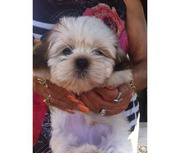 Free adoption for loving york apso pups.